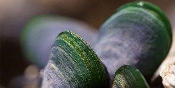 Moule verte de Nouvelle Zélande, la meilleure alliée des articulations